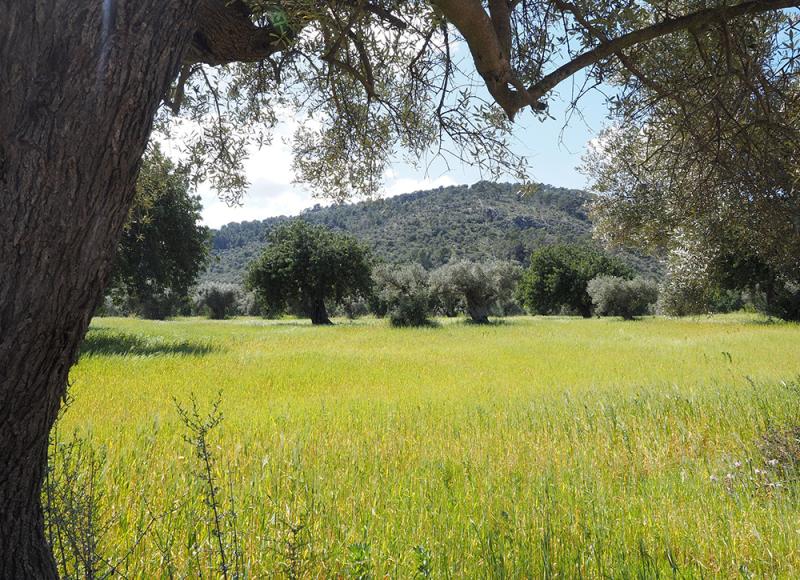 olive-tree-OLIVETI_UMBRIA